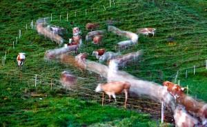 Крупный рогатый скот