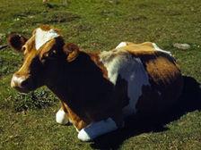 Импорт скота.