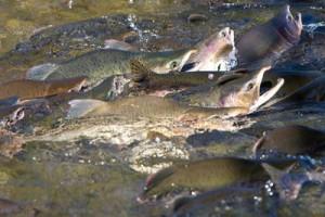 Лосось пошел в реки Сахалина - Для борьбы с сахалинскими браконьерами будут использовать беспилотники