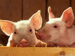 Африканская чума: В Сочи запрещено содержать свиней
