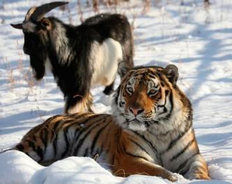 Тигр Амур и козёл Тимур