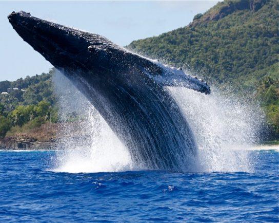 Член серого кита