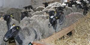 """Акция """"1000 овец"""""""